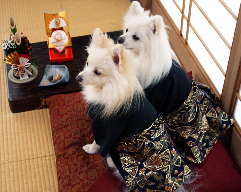 Dog Costume Japanese Hakama Kimono Japanese Spitz Japanese Dogs