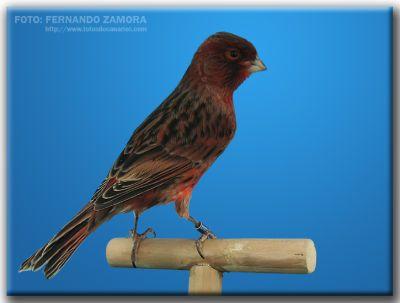 el canario bronce intenso y nevado - aviario zapata jimdo page!
