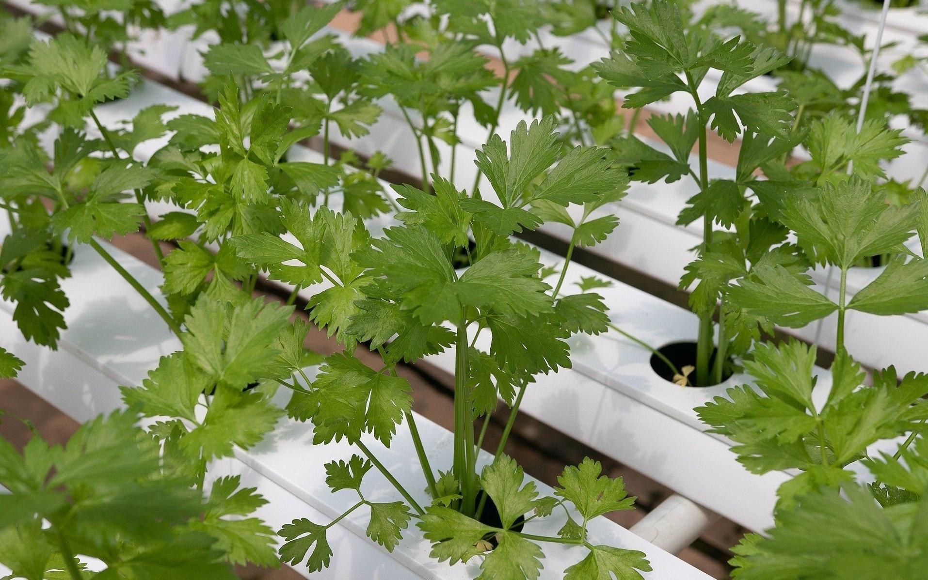 Coriander in 2020 Hydroponics, Growing coriander
