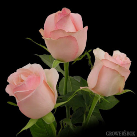 GrowersBox.com: Flowers: Cool Breeze Roses 100 Stems: Wholesale Flowers