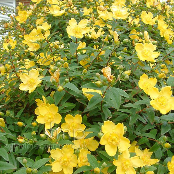 hypericum_calycinum.jpg (600×600) this would be good for the courtyard off the master bedroom, under the tree.