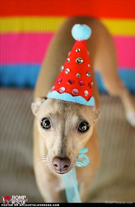 Italian Greyhounds Celebrating Their Birthday Birthday Italian