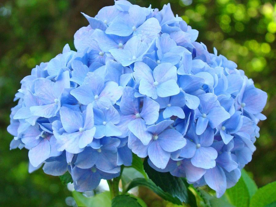 Blue Hydrangea Floral Art Print Hydrangeas Flowers Baslee Troutman By Baslee Troutman Blue Flowers Garden Beautiful Hydrangeas Blue Hydrangea