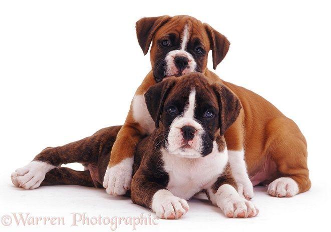 Free White Boxer Puppies Boxer Pups Boxer Puppies Boxer Dogs