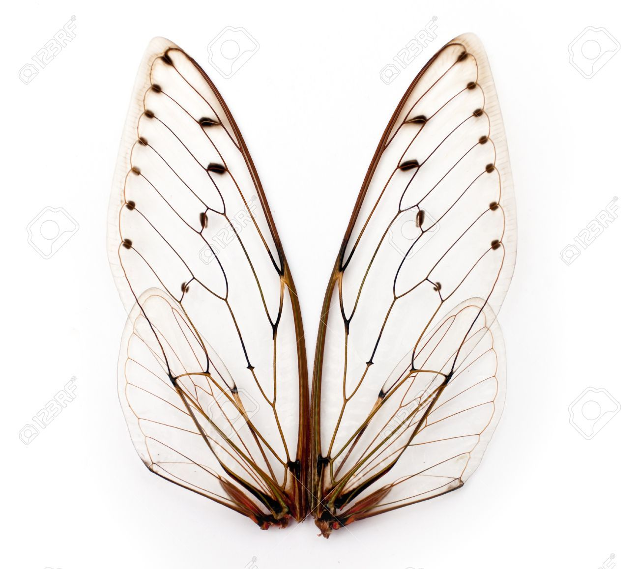 Insect Wings Texture a Pair of Cicada Insect Wings | Animals, Wings ...