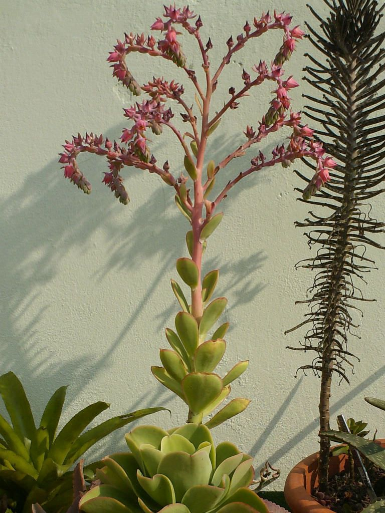 Echeveria Pallida Argentine Echeveria Planting Succulents