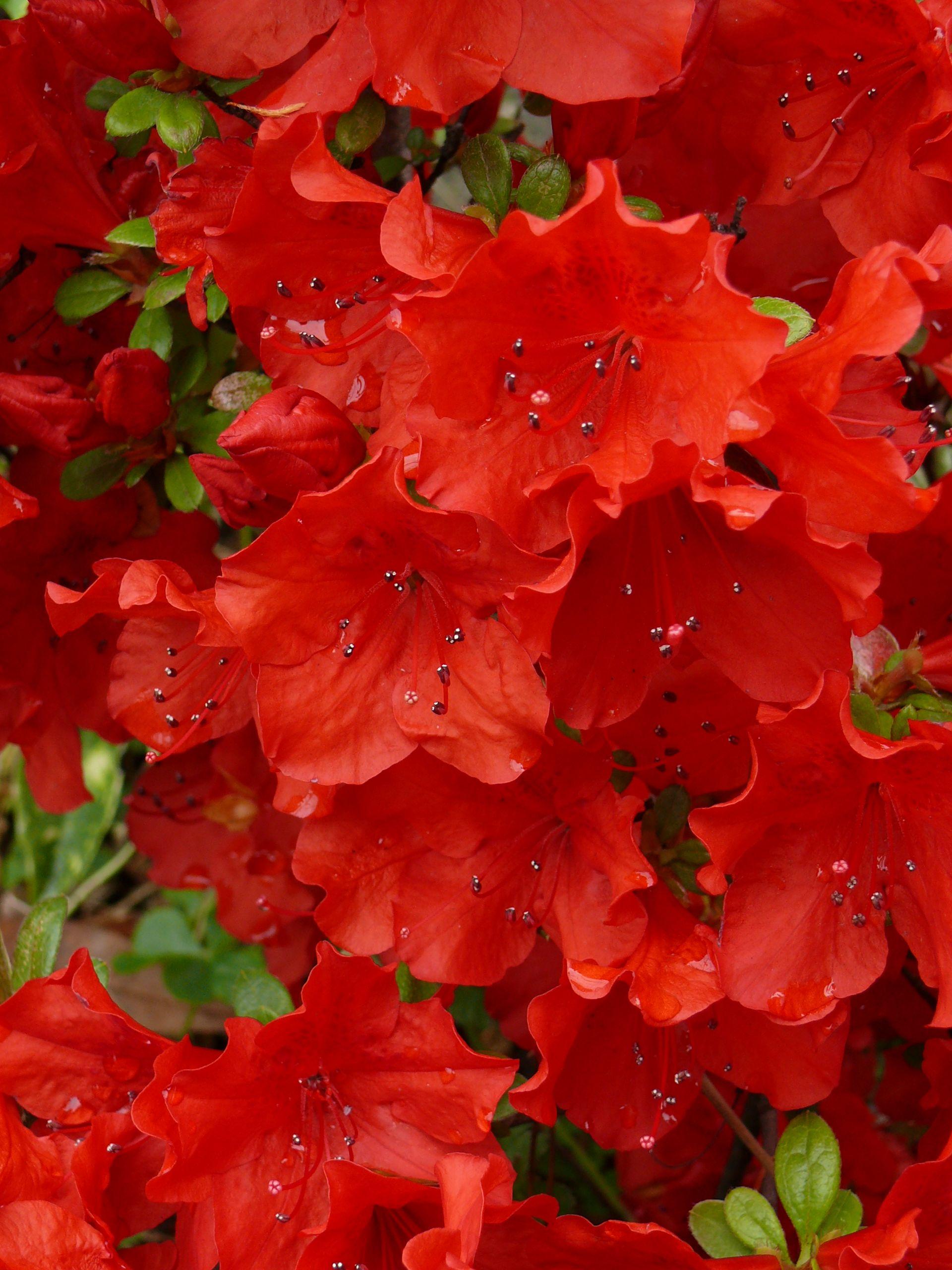 Rhododendron washington state flower r e d pinterest flower