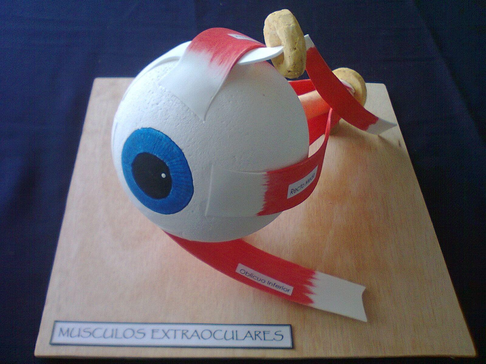 EL OJO: MUSCULOS EXTRAOCULARES | ciencias | Pinterest | Músculos ...