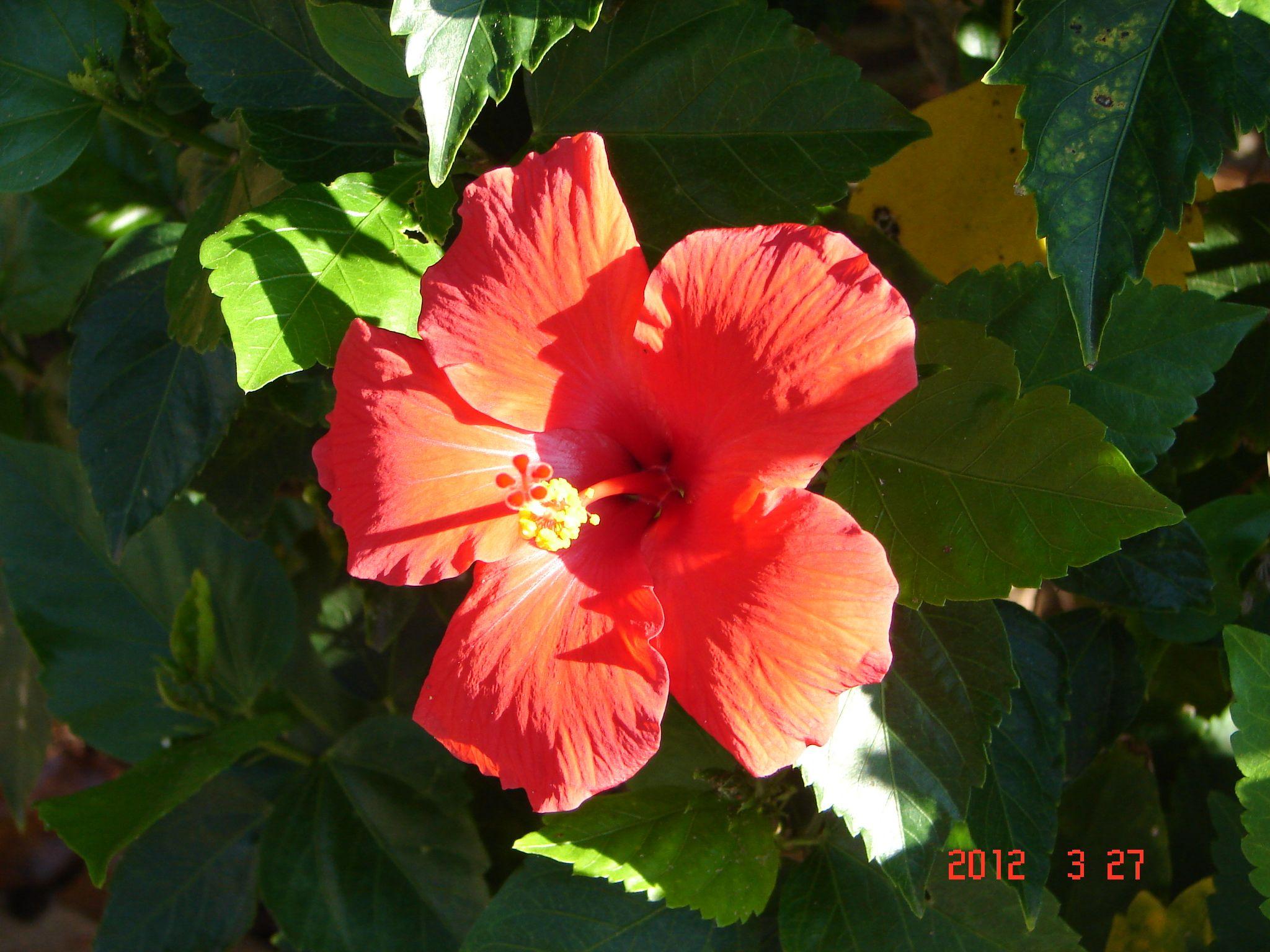 Hibiscus, Tampa Florida