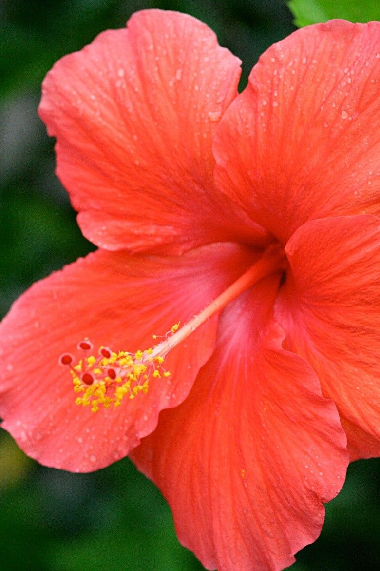 Peach Coral Hibiscus Flowers Hibiscus Flowers Tropical Flowers