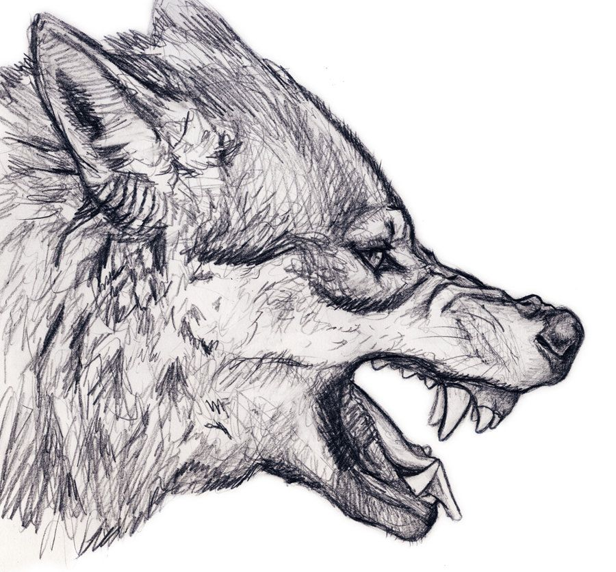 Wolf Snarl Wolf Drawing Wolf Head Drawing Wolf Sketch