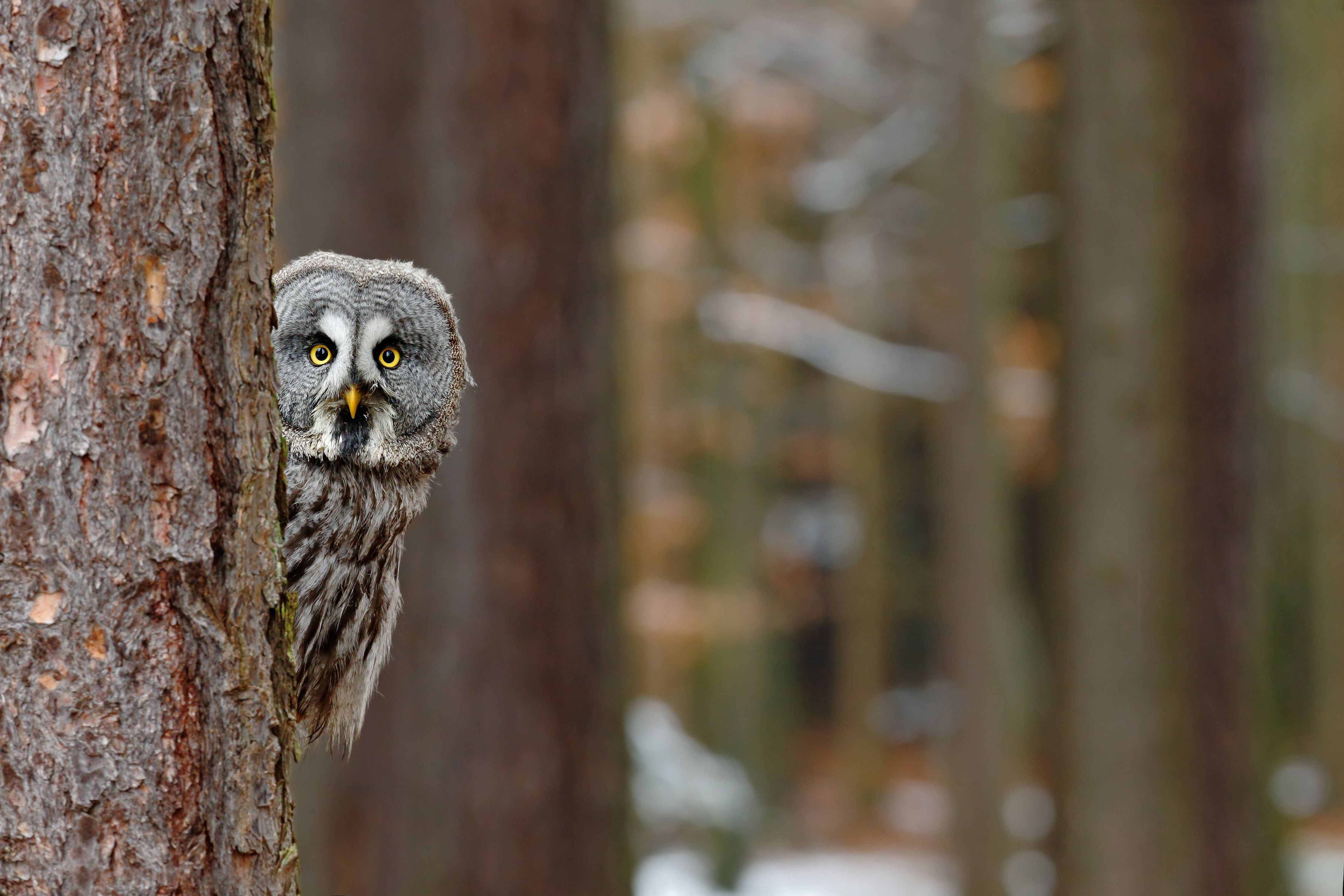 Who said that? 8 owls you might hear at night Great grey
