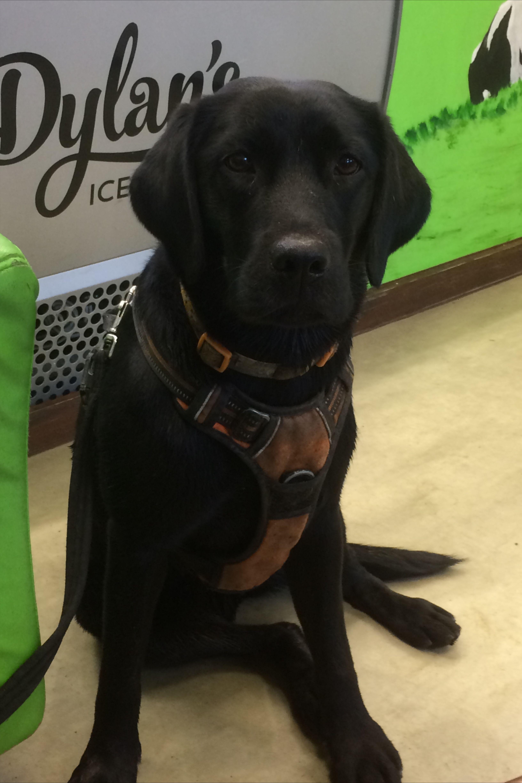 Esther Visiting The Ice Cream Parlour Mywaddlingdog In 2020 Labrador Retriever Labrador Yellow Lab Puppies