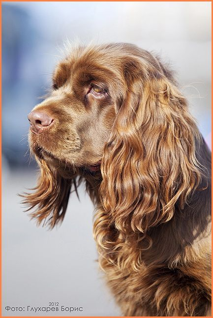 Sussex Spaniel My First Dog Sussex Spaniel Clumber Spaniel American Water Spaniel