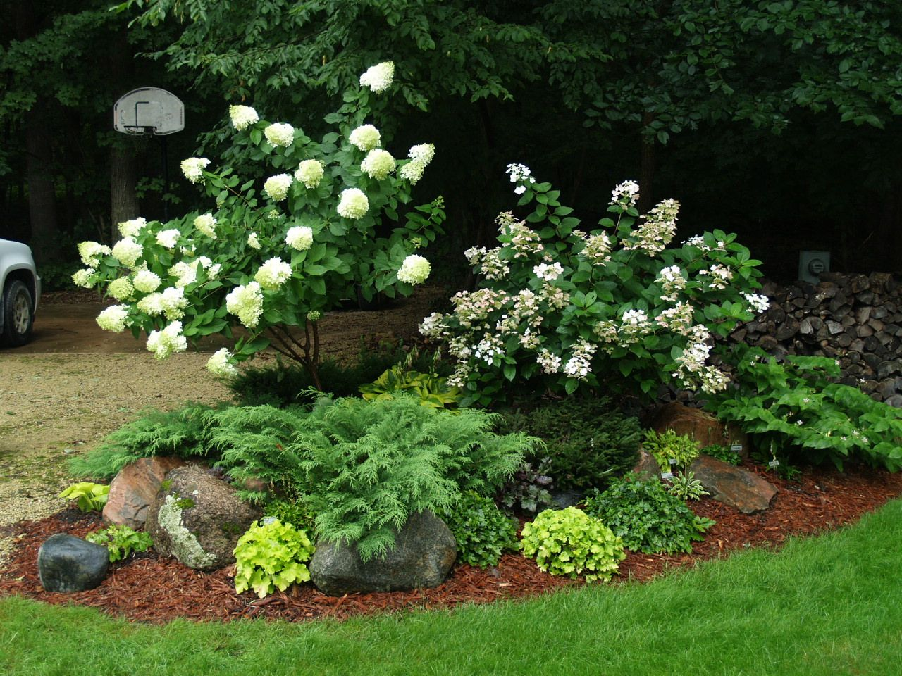 Landscaping hydrangeas with evergreens limelight for Tree landscaping ideas