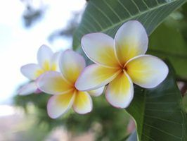 Plumeria flowers are used in Hawaii to make leis.