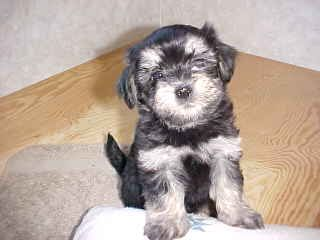 Havanese Puppy Pictures Havanese Dog Breeders Pictures Havanese Puppies In California Colors Of T In 2020 Havanese Puppies Havanese Dogs Havanese Puppies For Sale