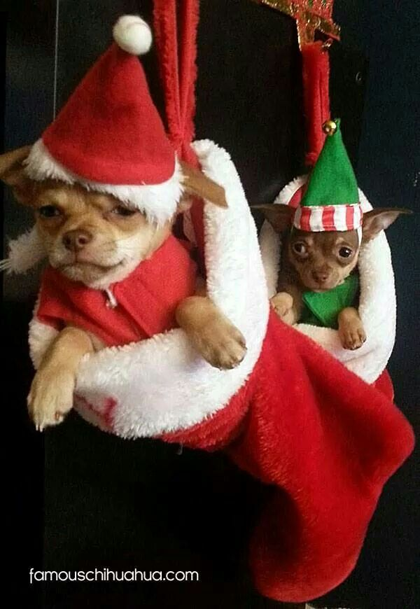 My favorite kind of stocking stuffers. Chihuahua