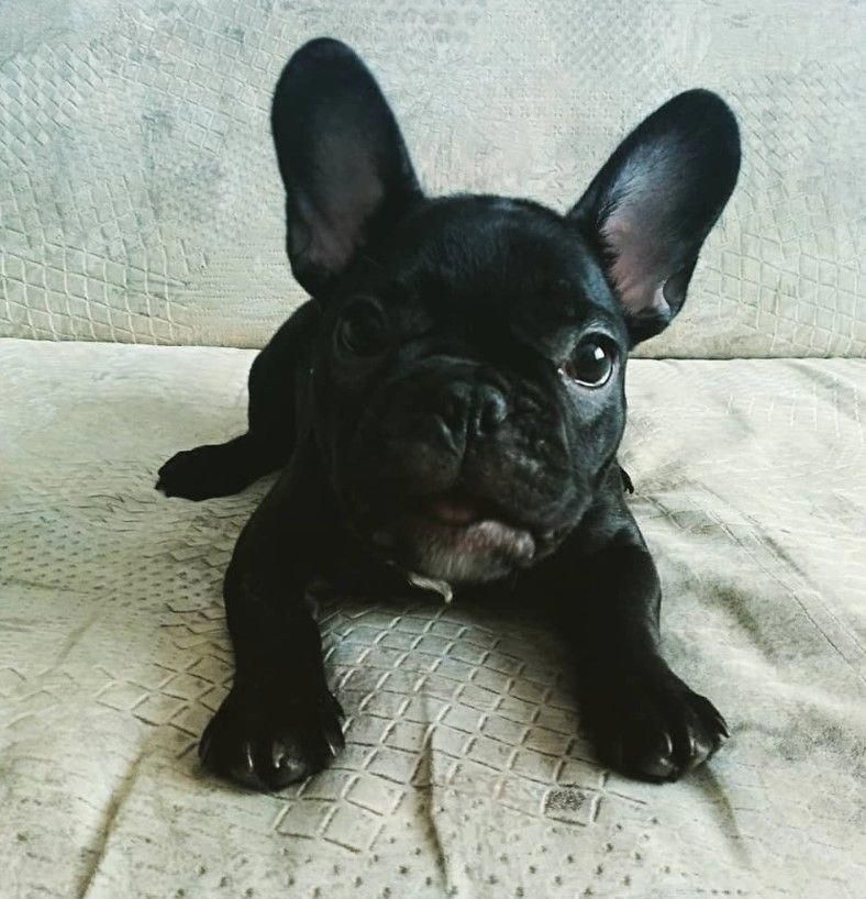 Find Out More On The Friendly French Bulldog Puppy