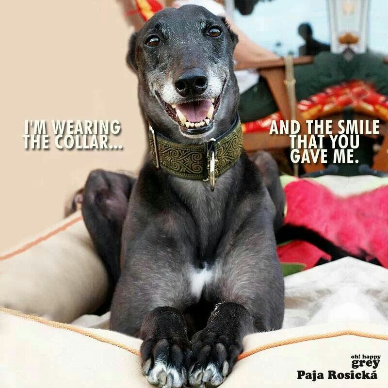 How could you resist this? Rescue a Greyhound!