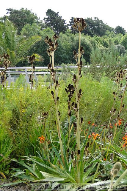 Eryngium agavifolium landscaping landscape design for Garden design winter 2018