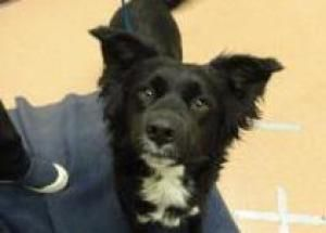 Olive is an adoptable Australian Shepherd Dog in Boulder, CO.  ...
