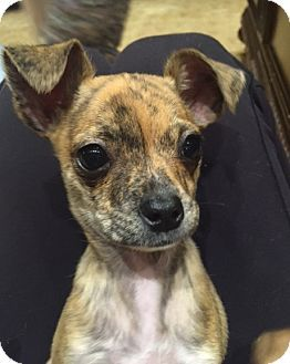 Larchmont Ny Chihuahua Mix Meet Chucky A Puppy For Adoption Puppy Adoption Chihuahua Chihuahua Mix