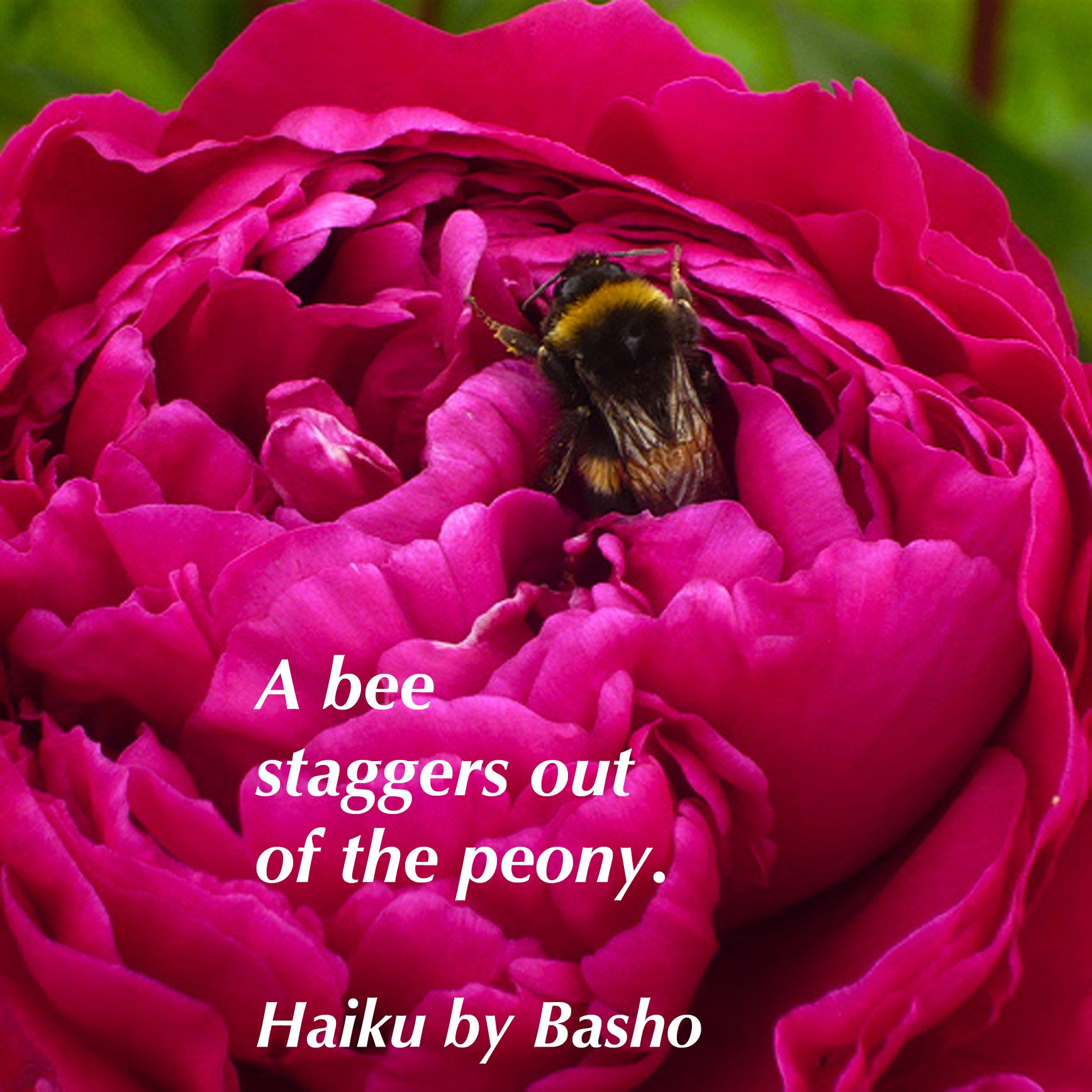 A bee staggers out of the peony