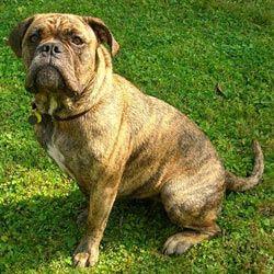 Olde English Bulldogge Olde English Bulldogge Dog Breeds