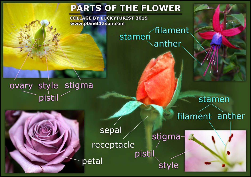 Life Cycle of a Plant. Flower Parts. Pollination