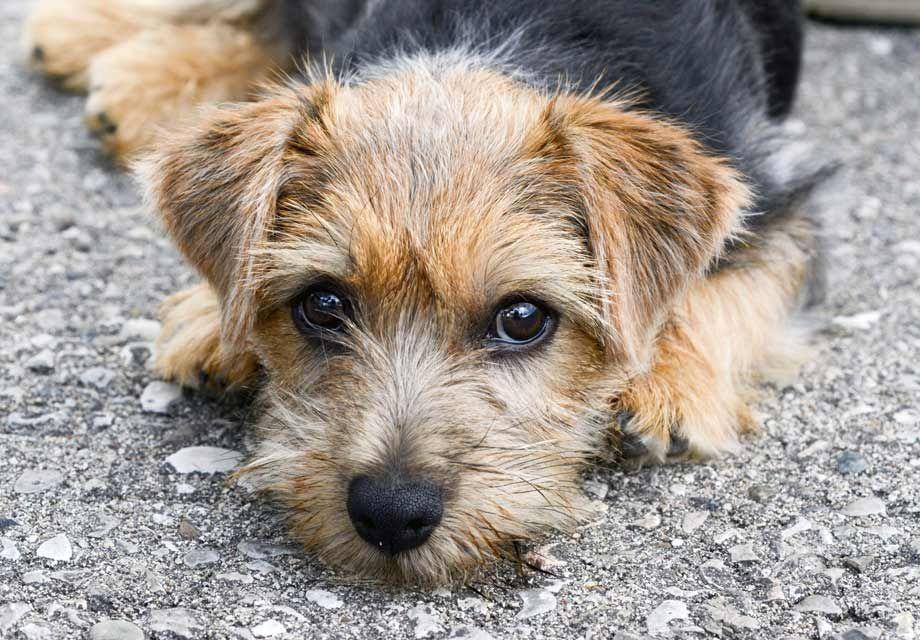 West Highland White Terrier Puppies For Sale Akc Puppyfinder Kutya