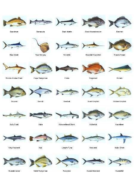 All saltwater fish bing images places to visit for Saltwater fish representative species