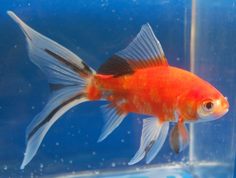 Shubunkin (Gold Fish) | Shubunkin goldfish, Goldfish, Fish ...Fresh Water Aquarium Gold Fish Images