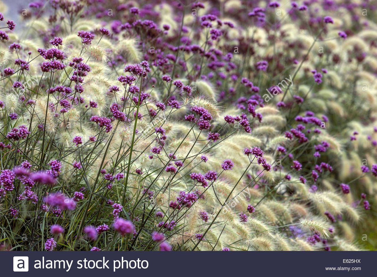 Colorful flower bed of annual flowers pennisetum verbena bonariensis colorful flower bed of annual flowers pennisetum verbena bonariensis stock photo royalty free image izmirmasajfo Image collections
