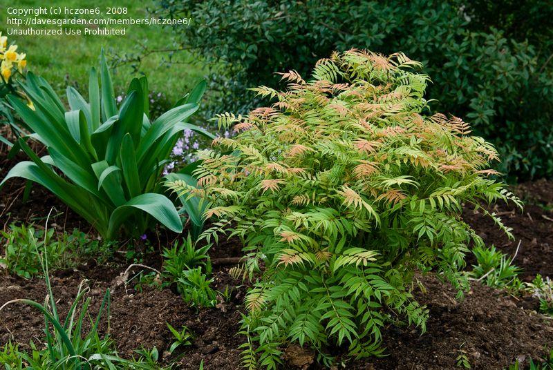 Plantfiles Pictures Ural False Spiraea Sem Sorbaria Sorbifolia 2 By Hczone6 Plants Garden Shrubs Spirea Shrub