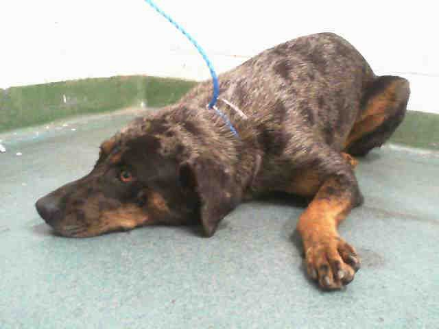 Miami Dade Animal Services Fl At 305 884 1101 Stacy Id A1652591 I Am An Unaltered Female Tricolor Catahoula Mix The Animal Shelter Humane Society Animals