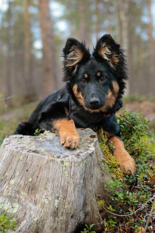 Trop beau#chien♥♥   animaux   Pinterest   Beaux chiens