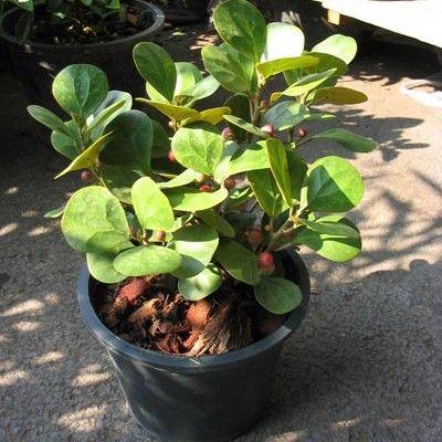 Kwiaty Domowe Niezbezpieczne Dla Dzieci I Zwierzat E Ogrodek Plants Ficus Houseplants