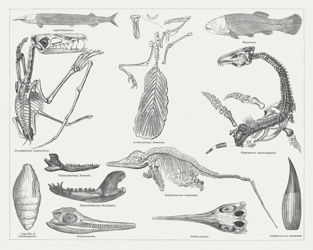 Mesozoic era fossil Fossils, Free vector art, Sketches