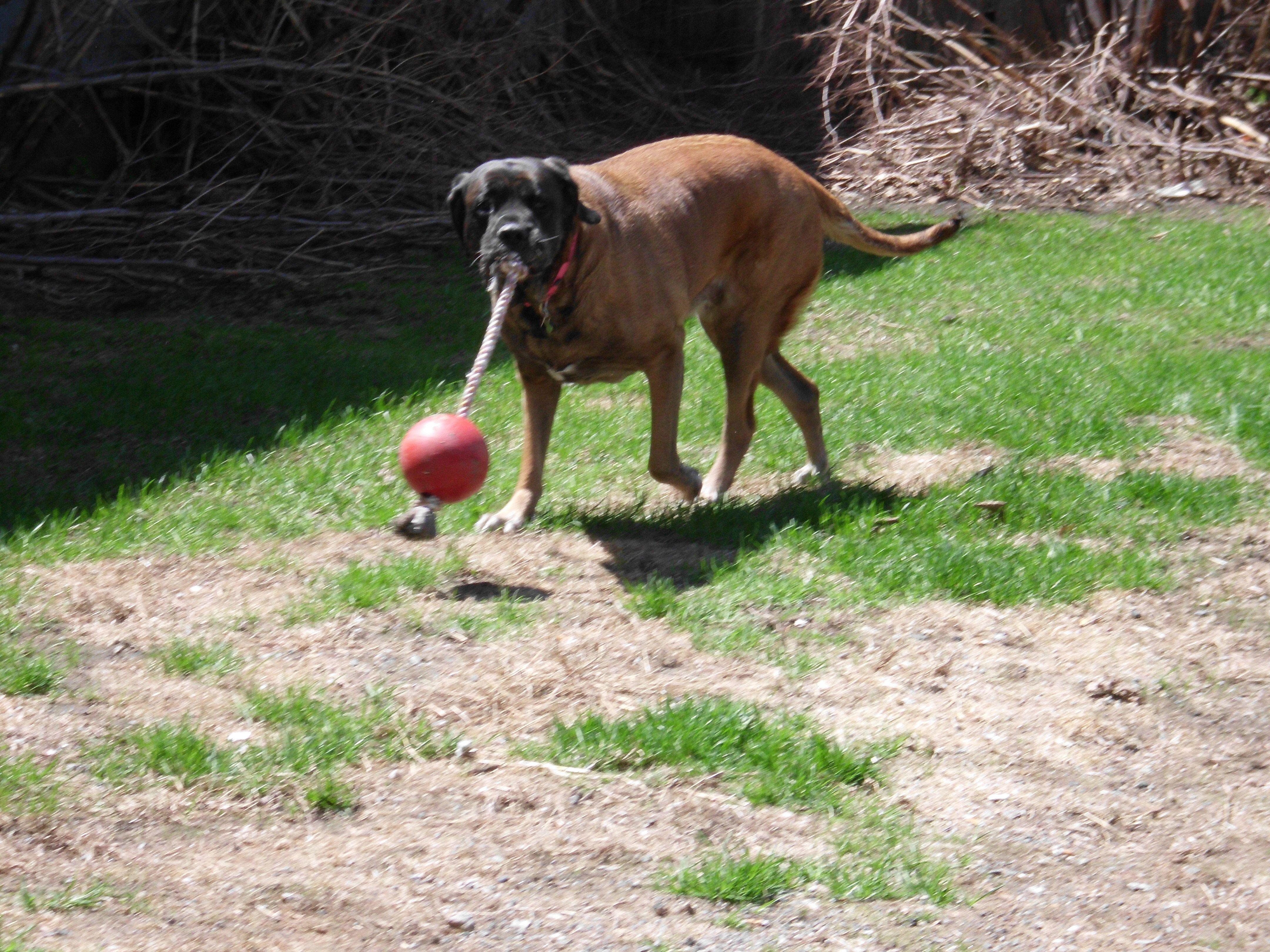 English Mastiff Abigail