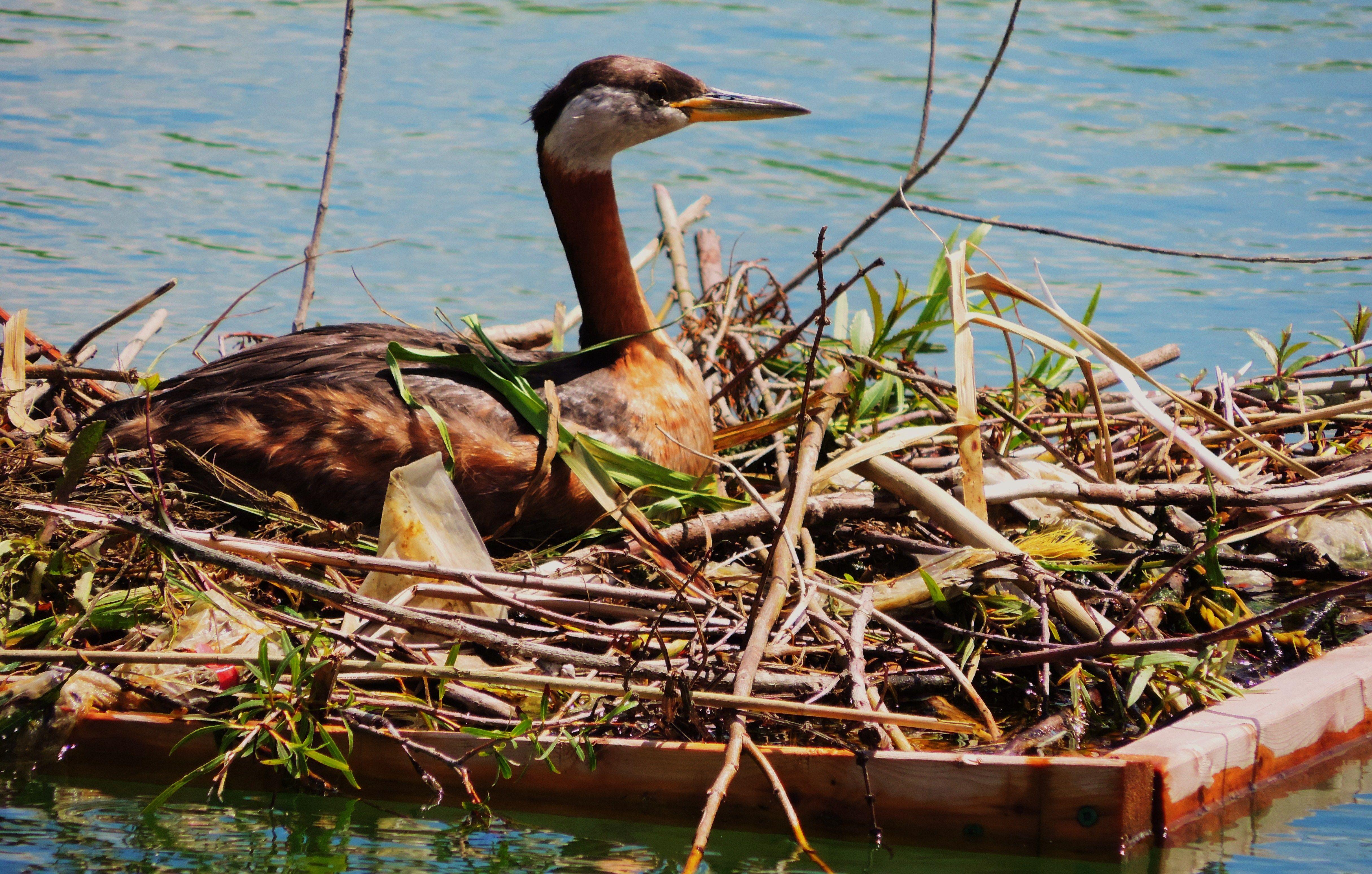 Female loon incubating.