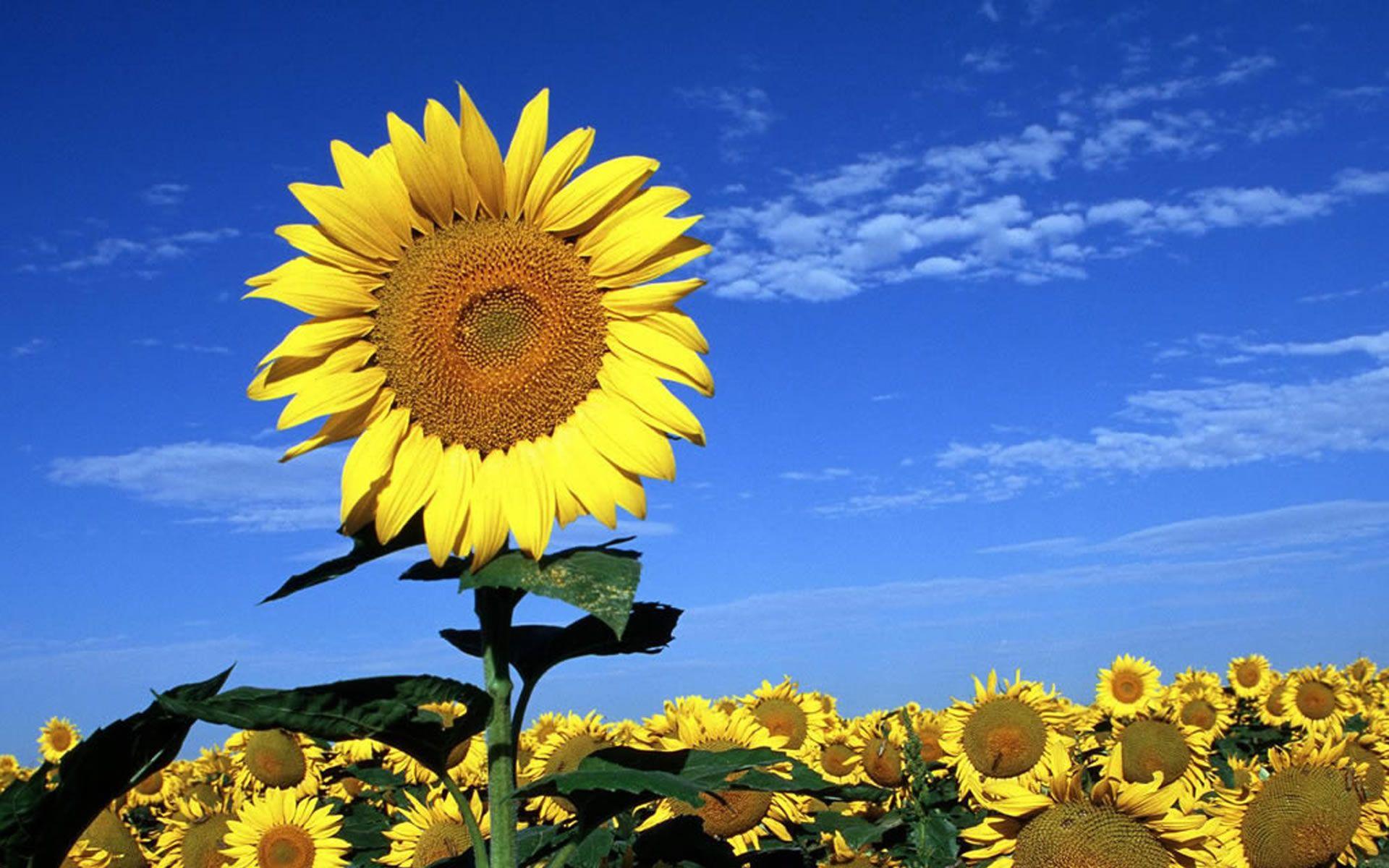 Beautiful sunflowers wallpaper photography pinterest flowers beautiful sunflowers wallpaper izmirmasajfo