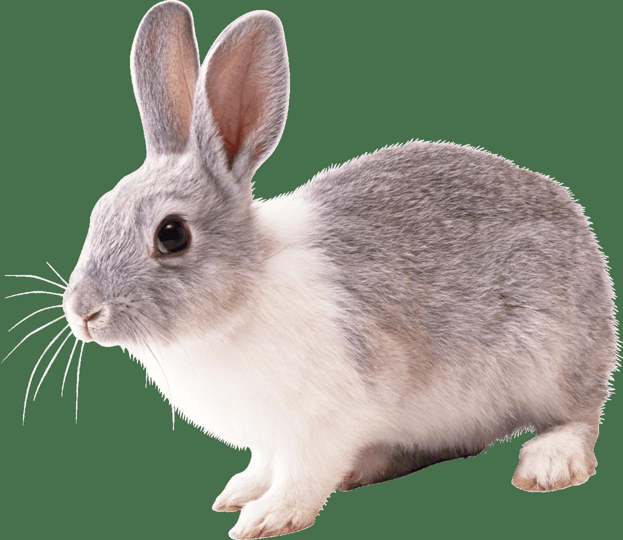 White Rabbit Images Rabbit Png Images And Png Clipart Pet Rats Rabbit Cartoon Images Rabbit