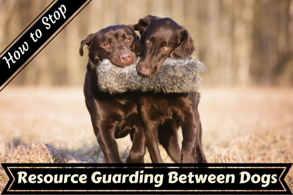 How to Stop Resource Guarding Aggression Between Dogs ...