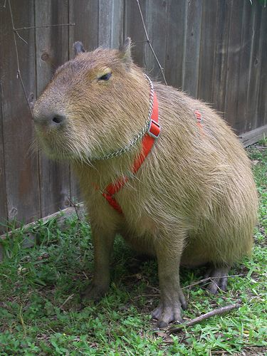 pet Capybara ! someday... love his harnie, wanna go walkies, Timmy?(he looks like a Tim)