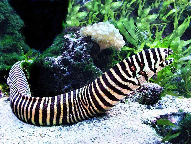 Zebra Moray Eel 36 Gymnomuraena Zebra Home Aquarium Saltwater Aquarium Fish Underwater Animals Sea Animals