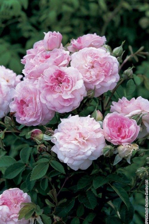 Rosemoor David Austin Roses Heirloom Roses Austin Rose