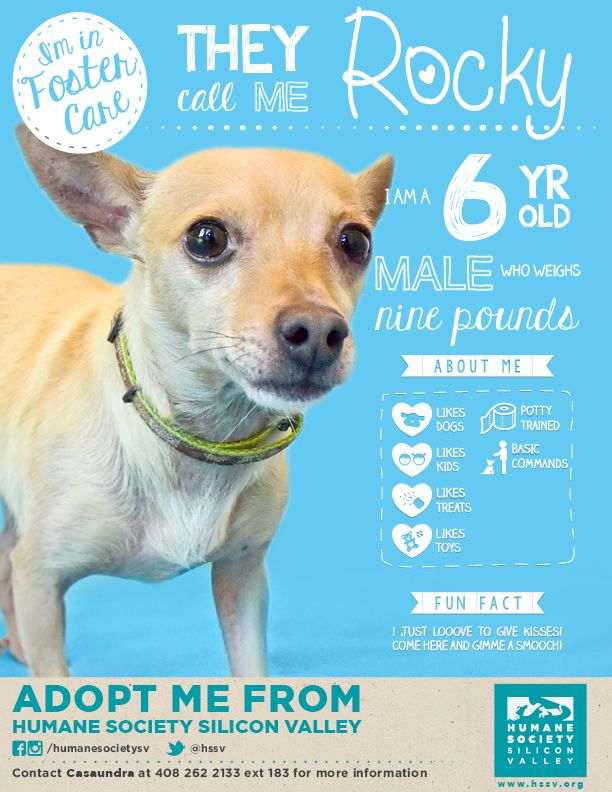 Chihuahua Mix Dog Available For Adoption Rocky A 114304 Humane Society Silicon Valley Milpitas California Humane Society Adoption Foster Dog