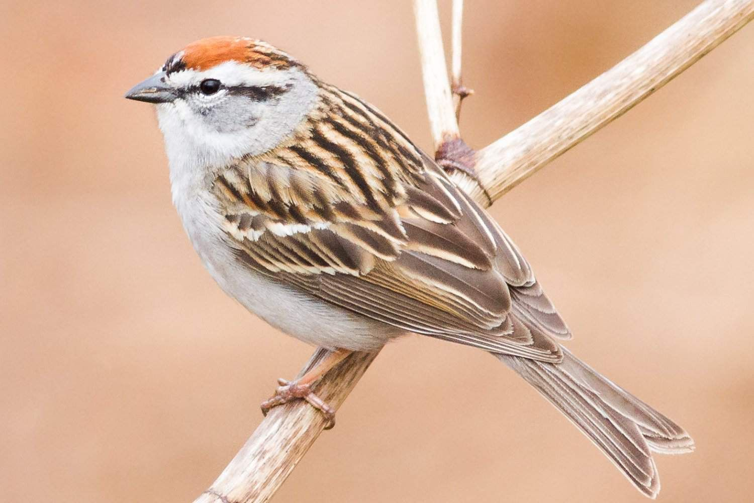 Discover the Most Popular Birds in North America (With ...