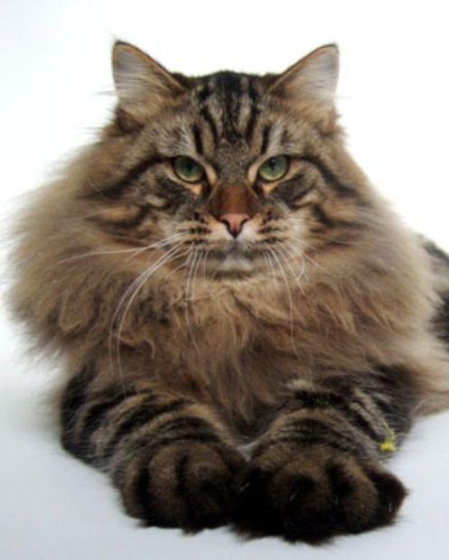 James The Black Smoke Norwegian Forest Cat Siberian Cat